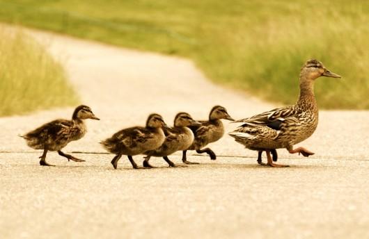 ducks-e1305836297408